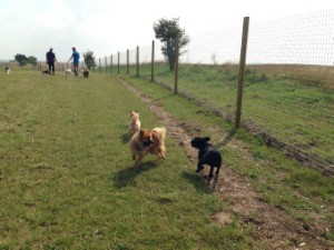 dog walking hertfordshire